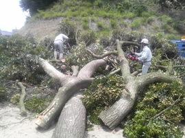 獅子崎の神社枯れ木伐木